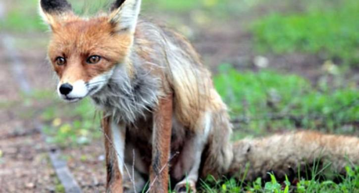 Нашествие диких лис зафиксировали в 3 районах Челябинской области