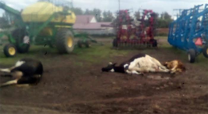 В южноуральском селе произошел массовый падеж скота
