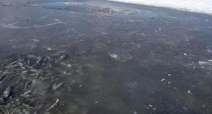Трупы нескольких тонн рыбы видны подо льдом озера вЧелябинской области