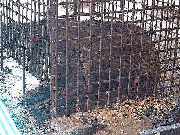 Обгоревший впожаре вТроицке медведь пропал изклетки