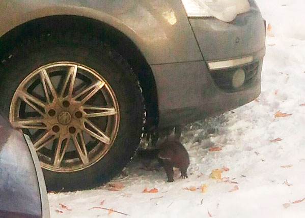 Дикая норка спряталась варке автомобиля вТроицке