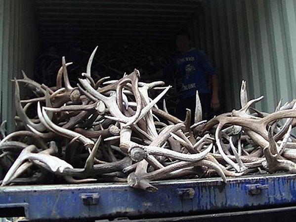 Россельхознадзор непустил вЧелябинск 5 тонн оленьих рогов без документов